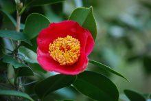 camellia-5
