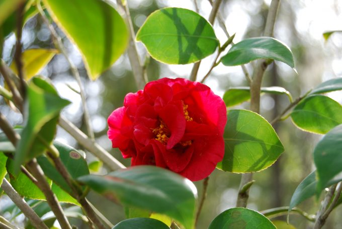 camellia-dark-pink-with-interesting-sunlight
