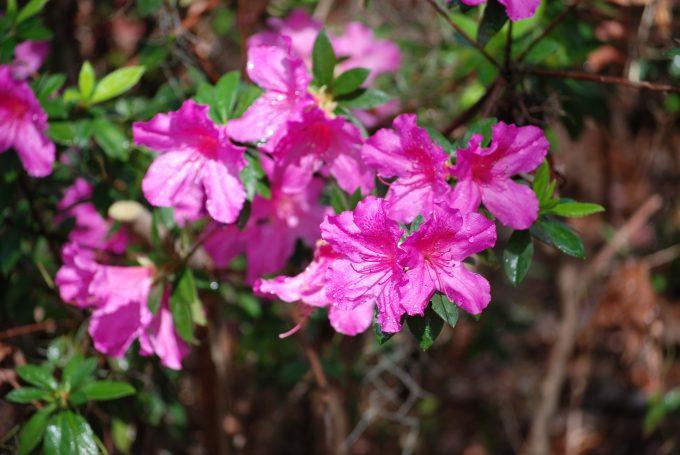 Formosa azalea blossoms