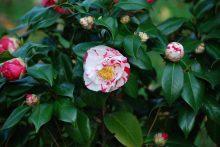 camellia-variegated-close-up