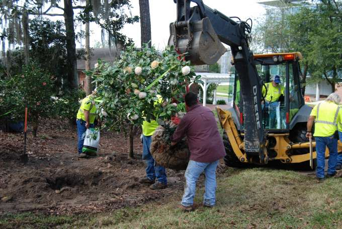 Camellia Relocation Project (6)