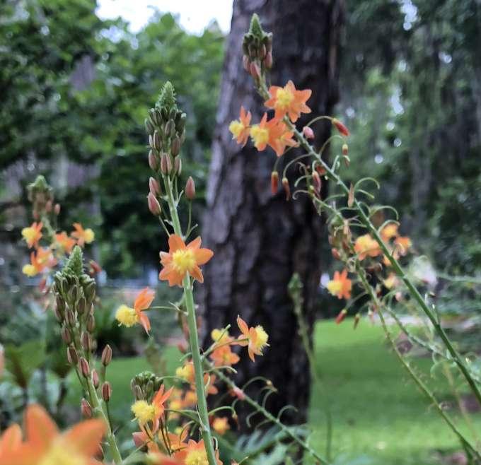 Bulbine frutescens